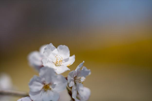 春の花菜ガーデン【染井吉野とレンギョウ】5