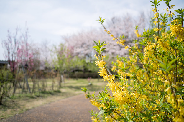 春の花菜ガーデン【染井吉野とレンギョウ】6
