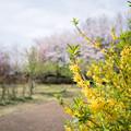 Photos: 春の花菜ガーデン【染井吉野とレンギョウ】6