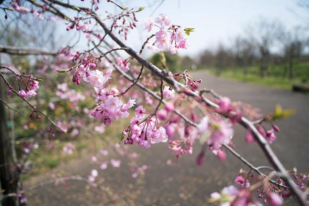 春の花菜ガーデン【サクラ: 八重紅枝垂】1