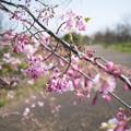 Photos: 春の花菜ガーデン【サクラ: 八重紅枝垂】1