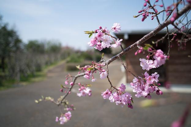 春の花菜ガーデン【サクラ: 八重紅枝垂】2