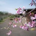 Photos: 春の花菜ガーデン【サクラ: 八重紅枝垂】2