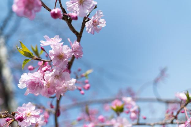 春の花菜ガーデン【サクラ: 八重紅枝垂】3