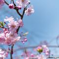 Photos: 春の花菜ガーデン【サクラ: 八重紅枝垂】3