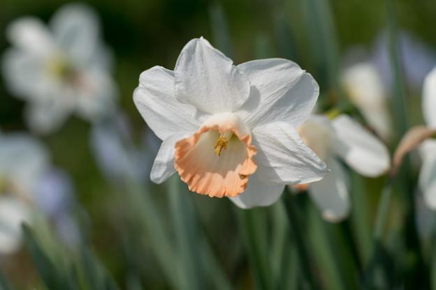 春の花菜ガーデン【スイセン】1