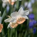 春の花菜ガーデン【スイセン】2