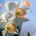 春の花菜ガーデン【スイセン】3