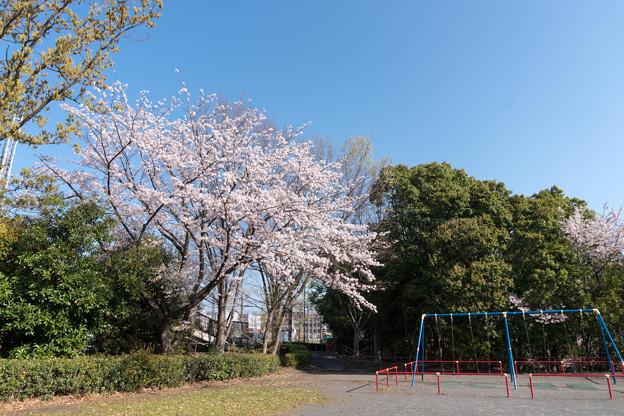 近所のサクラ【赤田東公園】1