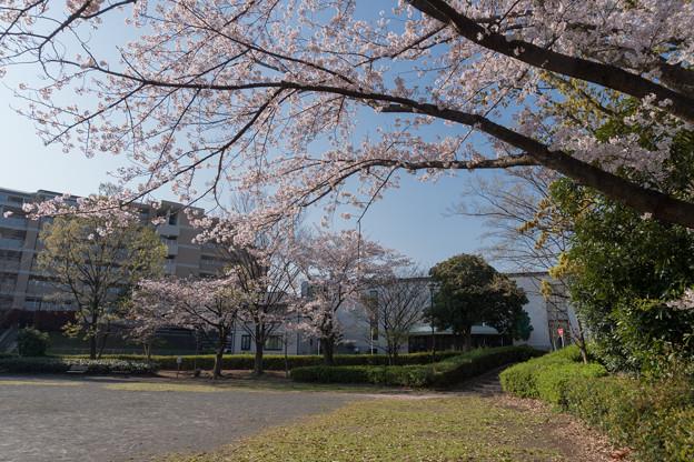 近所のサクラ【赤田東公園】2