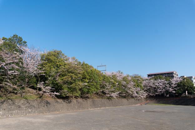 近所のサクラ【赤田東公園】3