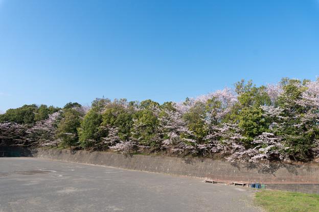 近所のサクラ【赤田東公園】4