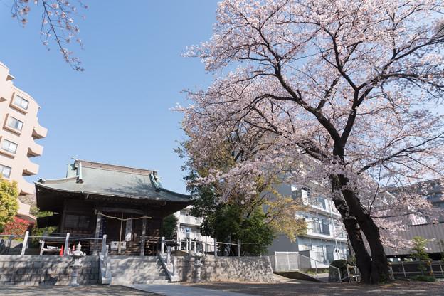 近所のサクラ【驚神社】2