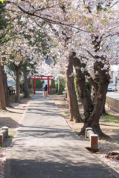 近所のサクラ【驚神社】3