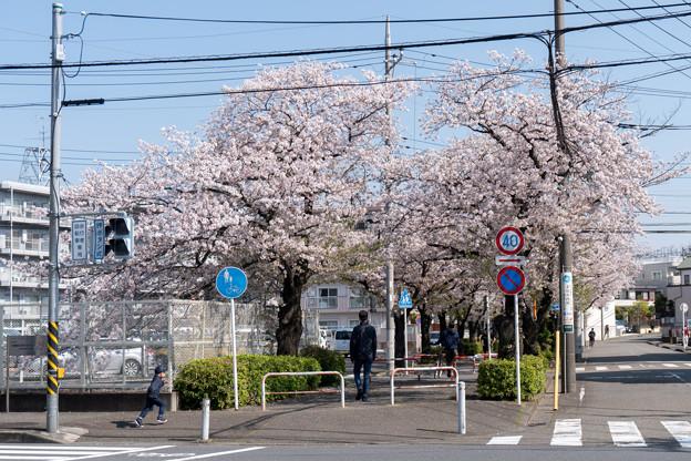 近所のサクラ【元石川の緑道】1