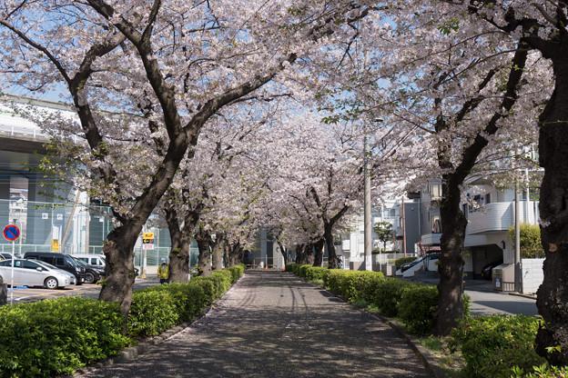 近所のサクラ【元石川の緑道】2