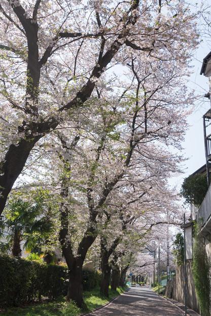 近所のサクラ【元石川の緑道】3