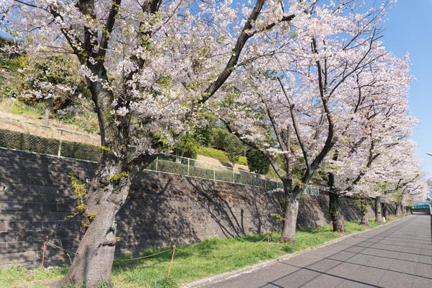 近所のサクラ【元石川の緑道】4