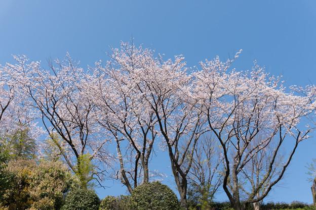 近所のサクラ【元石川の緑道】5