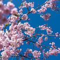 近所の緑道【サクラ:八重紅枝垂桜】1
