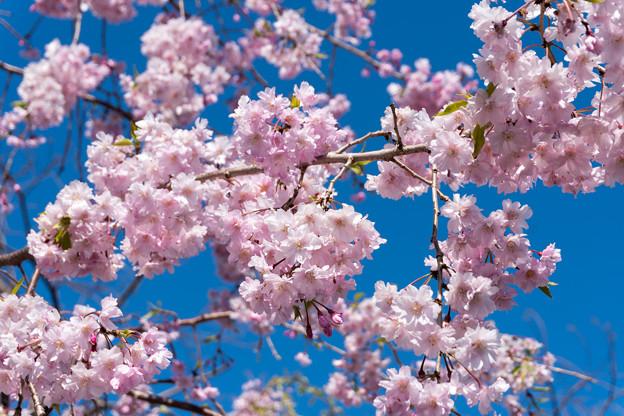 近所の緑道【サクラ:八重紅枝垂桜】2