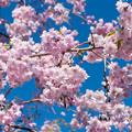 Photos: 近所の緑道【サクラ:八重紅枝垂桜】2