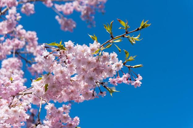 近所の緑道【サクラ:八重紅枝垂桜】3