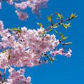 Photos: 近所の緑道【サクラ:八重紅枝垂桜】3