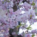 近所の緑道【サクラ:八重紅枝垂桜】4