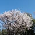近所の緑道【サクラ:山桜】1