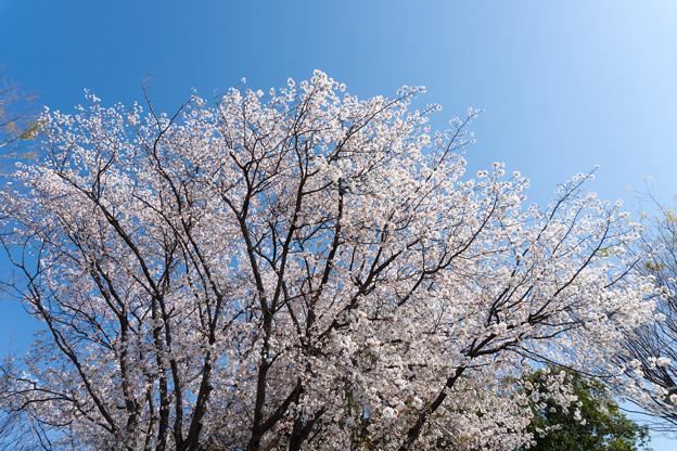 近所の緑道【サクラ:山桜】2