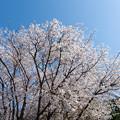Photos: 近所の緑道【サクラ:山桜】2
