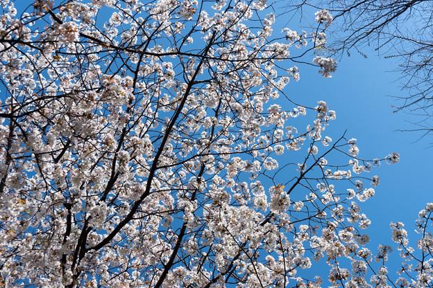 近所の緑道【サクラ:山桜】3