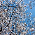 Photos: 近所の緑道【サクラ:山桜】3