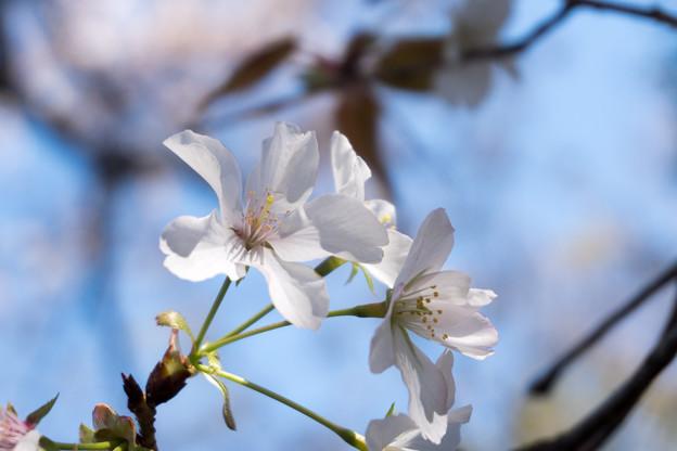 近所の緑道【サクラ:山桜】4