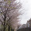 近所の緑道【見花山のサクラ】