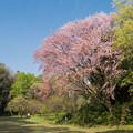 近所のサクラ【鴨池公園かきのき広場:紅山桜】