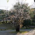 近所のサクラ【テリタビーズ公園:たぶん山桜】1