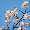 近所のサクラ【テリタビーズ公園:たぶん山桜】2