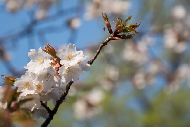 近所のサクラ【テリタビーズ公園:たぶん山桜】3