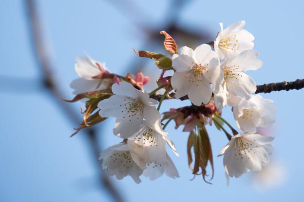 近所のサクラ【テリタビーズ公園:たぶん山桜】4
