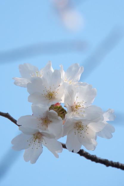 近所のサクラ【テリタビーズ公園:たぶん山桜】5