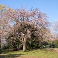 Photos: 近所のサクラ【テリタビーズ公園:老木の八重紅枝垂桜】1