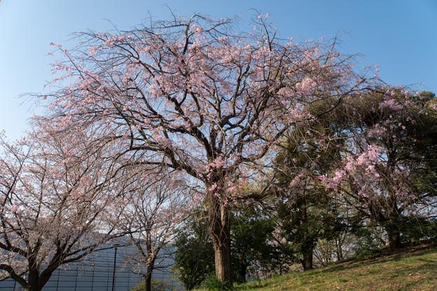 近所のサクラ【テリタビーズ公園:老木の八重紅枝垂桜】2