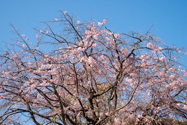 Photos: 近所のサクラ【テリタビーズ公園:老木の八重紅枝垂桜】3