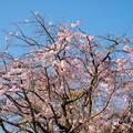 近所のサクラ【テリタビーズ公園:老木の八重紅枝垂桜】3