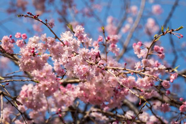 近所のサクラ【テリタビーズ公園:老木の八重紅枝垂桜】4