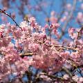 Photos: 近所のサクラ【テリタビーズ公園:老木の八重紅枝垂桜】4