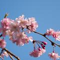 近所のサクラ【テリタビーズ公園:老木の八重紅枝垂桜】5