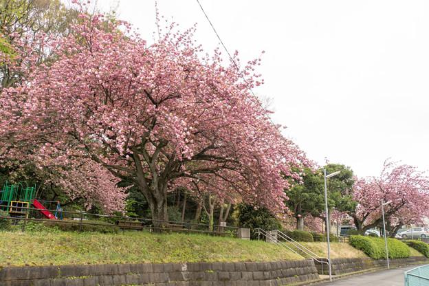 近所の公園【長津田第3公園:里桜(たぶん関山)】2
